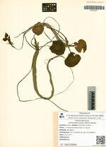 Hydrocharis dubia (Blume) Backer