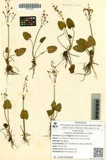 Caldesia parnassifolia (L.) Parl.