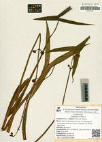 Sagittaria trifolia L.