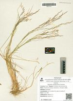 Agrostis anadyrensis Soczava