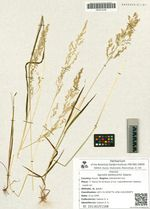 Agrostis belikovichii Galanin