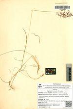 Agrostis borealis C. Hartm.