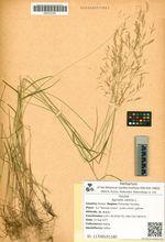 Agrostis canina L.