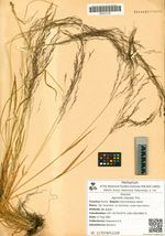 Agrostis clavata Trin.