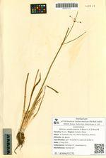 Alisma canaliculatum A.Braun & C.D.Bouché