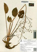 Alisma plantago-aquatica L.