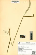 Alopecurus pratensis L.
