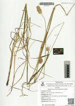 Alopecurus brachystachyus Bieb.