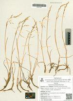 Dupontia psilosantha Rupr.