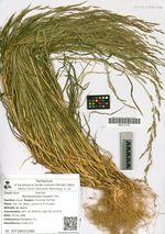 Muhlenbergia huegelii Trin.