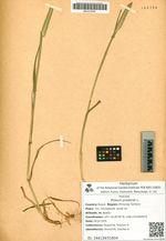 Phleum pratense L.