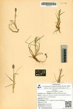 Alopecurus alpinus  Smith