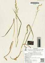 Arctagrostis arundinacea (Trin.) Beal
