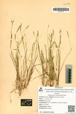 Alopecurus amurensis Kom.