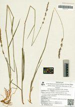 Arctagrostis latifolia (R.Br.) Griseb.