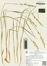 Arctagrostis latifolia (R. Br.) Griseb.