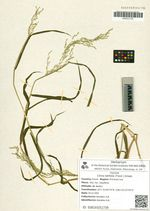 Cinna latifolia (Trevir.) Griseb.