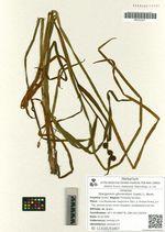 Sparganium glomeratum (Laest.) L. Neum.