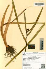 Sparganium japonicum Rothert