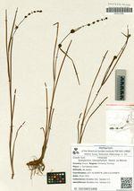 Sparganium stenophyllum  Maxim. ex Meinsh.