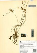 Sparganium angustifolium Michx.