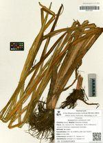 Sparganium coreanum Levl