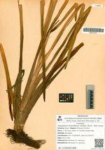 Sparganium stoloniferum (Graebn.) Buch. - Ham. ex Juz.