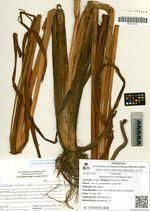 Sparganium coreanum Levl.