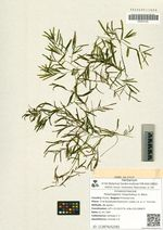 Potamogeton maackianus A. Benn.