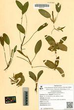 Potamogeton gramineus L.