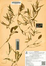 Potamogeton heterophyllus Fries.