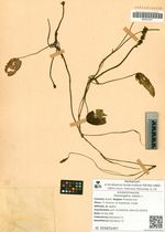 Potamogeton natans L.