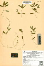 Potamogeton cristatus Regel & Maack