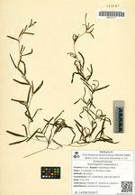 Potamogeton compressus L.