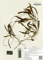 Potamogeton distinctus A. Benn.