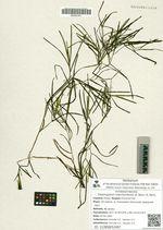 Potamogeton manchuriensis (A. Benn.) A. Benn.