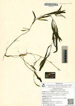 Potamogeton alpinus Balb.