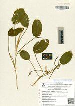 Persicaria amphibia (L.) S.F. Gray