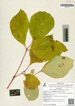 Paeonia japonica Miyabe et Takeda