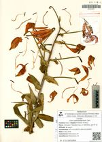 Lilium pseudotigrinum Carr.