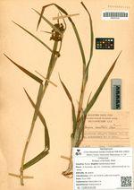 Scirpus orientalis Ohwi