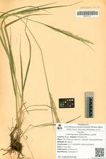 Calamagrostis distantiflora Lucznik