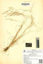 Agrostis vulgaris With.