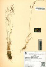 Agrostis kudoi Honda