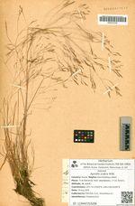 Agrostis scabra Willd.