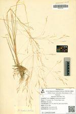 Agrostis hiemalis Trin.