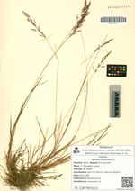 Agrostis stolonifera L.