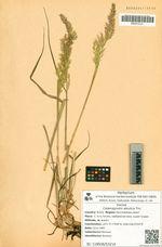 Calamagrostis aleutica Trin.