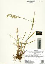 Bromopsis canadensis (Michx.) Holub