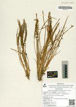 Triglochin asiaticum (Kitag.) A. et D. Love